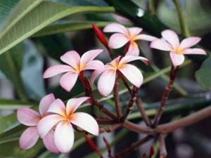 Frangipani Flowers1